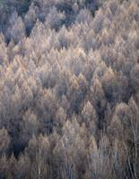Arrowtown-trees 001-shp