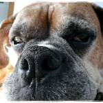 """""""A Boxer Named Curtis"""" by ishotya"""