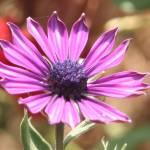 """""""Purple Flower"""" by PatrickAltman"""