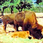 """buffalo family"" by cowden"