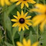 """Black-eyed Susans"" by erbephoto"