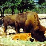 """buffalo of South Texas"" by cowden"