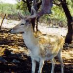 """""""deer in velvet"""" by cowden"""