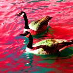 """canada geese 2"" by SteveWalton"
