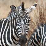 """Zebra in Tarangire 1"" by allen"
