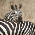 """Zebra in Tarangire 4"" by allen"