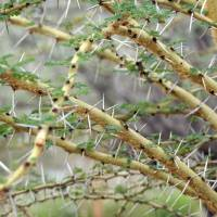 Acacia Tree Thorns Art Prints & Posters by Allen Hutchison