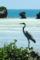 Goliath Heron Watamu cliffs