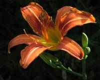 first day lily of spring