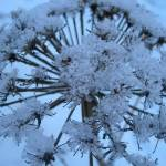 """Cow Parsnip in Winter"" by merrymaryallegra"