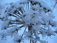 Cow Parsnip in Winter