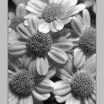"""Lavendar Flowers in Black and White"" by PhotoViewPlus"