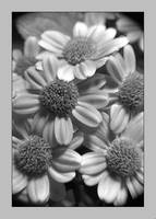 Lavendar Flowers in Black and White