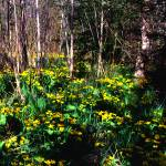 """Marsh Marigolds"" by RichardBaumer"