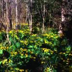 """Marsh Marigolds"" by RichardBaumer"