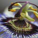 """Macro of Passion Flower"" by bonnet0uk"