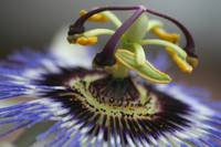 Macro of Passion Flower