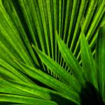 """Palm Leaves"" by Balu"