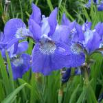 """Iris"" by PeterRidge"