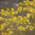 """Wild Fennel in sunlight North Cyprus O IMG_1064"" by Rhubarbandcustard"