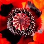 """""""Poppy 3"""" by kenart"""