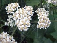 Wild White Yarrow