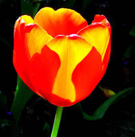 Luminous Tulip