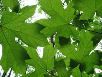maple canopy