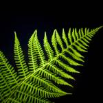 """Fern on Black"" by Sunchaser"