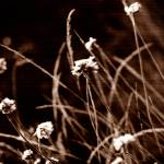 """sepia weeds"" by BonnieRaw"