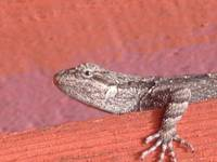 Ornate Tree Lizard on Gate