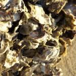 """Sydney Rock Oysters"" by taryneast"