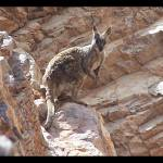 """Rock Wallaby"" by taryneast"