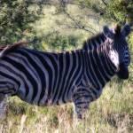 """""""zebra"""" by Macdonaldj"""