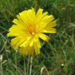"""Close up flor amarilla en Irazu"" by SmokedIronMade"