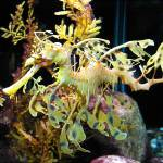 """Leafy Sea Dragon"" by Melissa-n-Craig"