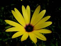 Lemon Yellow Osteospermum