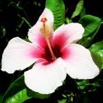 """hibiscus"" by tessarosephotos"