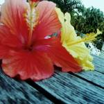 """Hibiscus"" by christina_frankel"