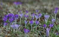 Crocus Meadow
