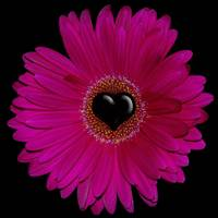 Pink Gerbera Flower macro with heart