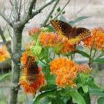 """Double Butterfly Milkweed"" by rjackson"
