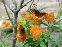 Double Butterfly Milkweed