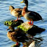 """ducks on high"" by LoraxLady"