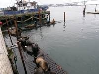 Sealions at the Bayfront, Newport, Oregon