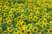 Sunflowers  (14802-RD)