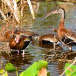 """Blackbelly Whistling Ducks Feeding"" by DAD"