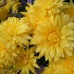 """Yellow Flowers"" by zackadams"