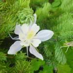 """White Pine Flower"" by zackadams"