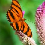 """Banded Orange Butterfly I"" by Larissabreaphotography"